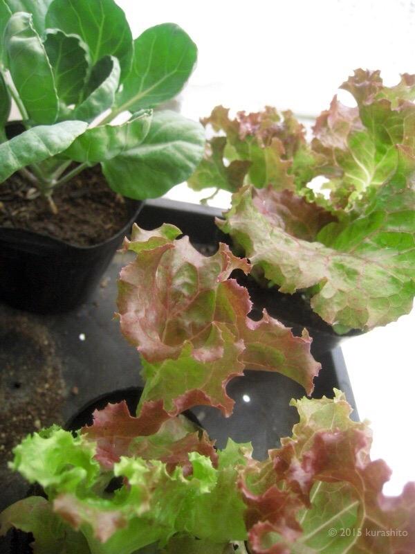サニーレタスと芽キャベツの苗