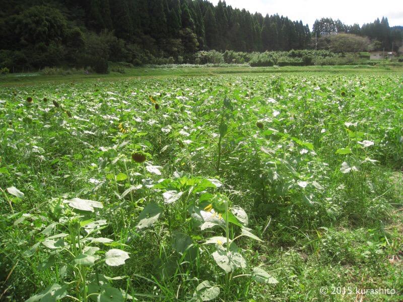 季節外れのひまわり畑。