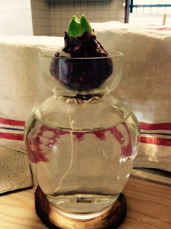 ヒヤシンスの水栽培。