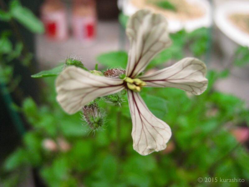 ルッコラの花。