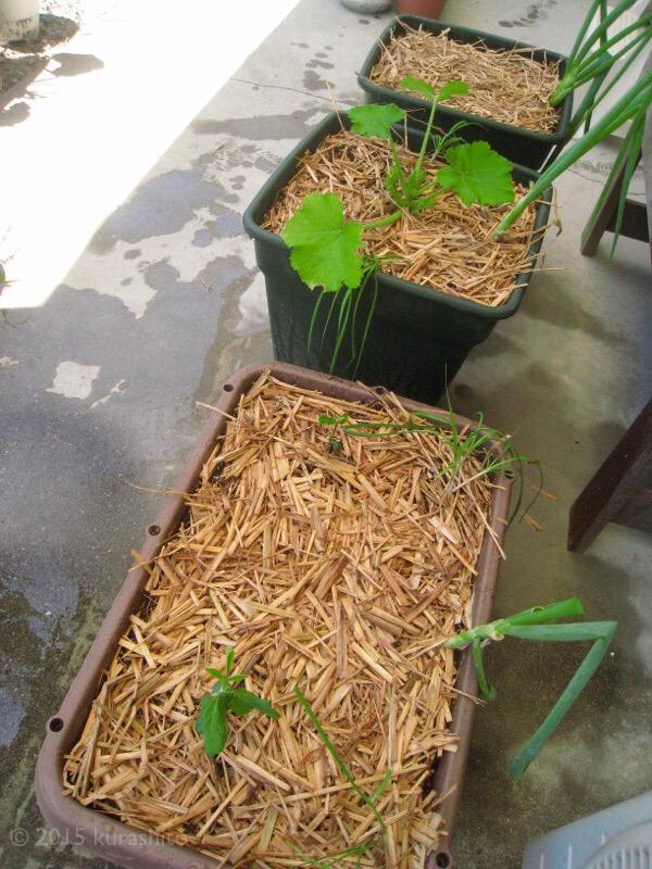夏に向けて、ズッキーニ2鉢目、枝豆、モロヘイヤの植え付け。