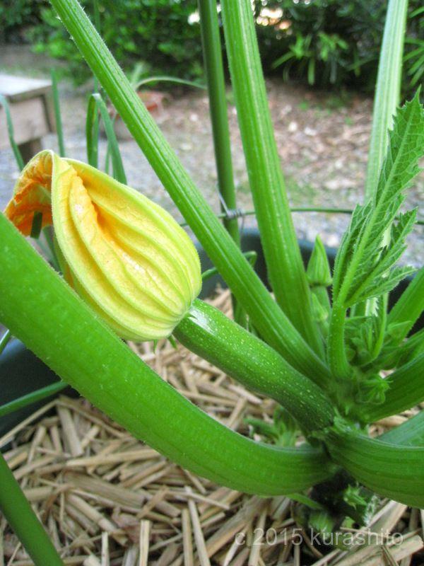 ズッキーニの雌花、受粉後