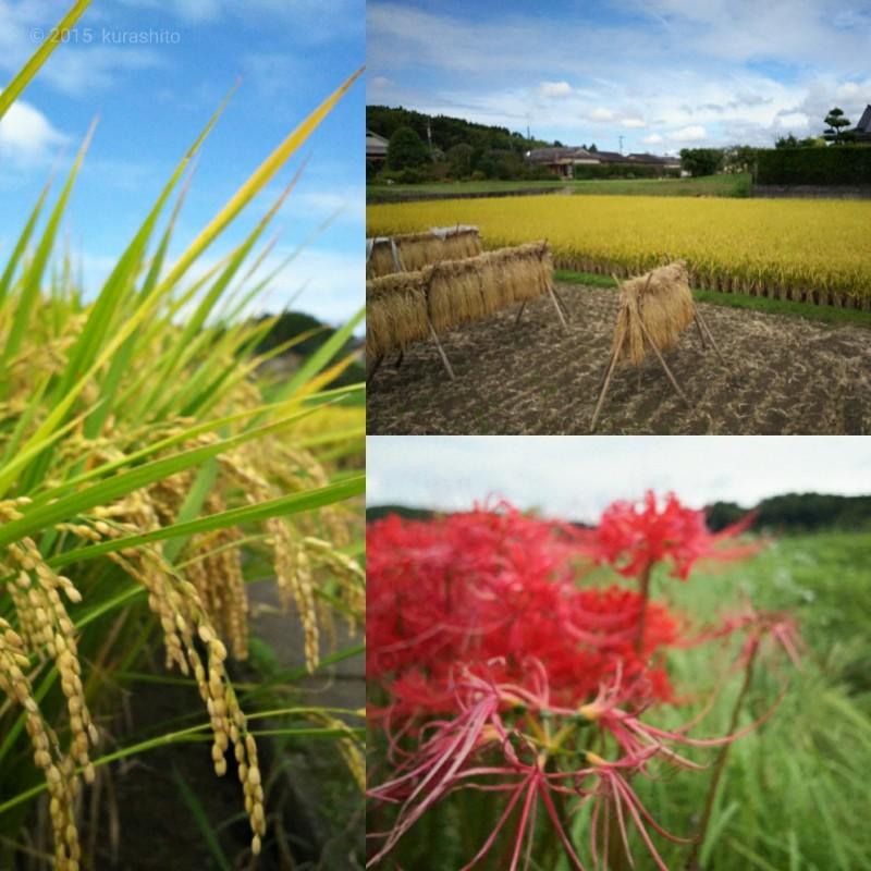 秋の日。稲刈り。