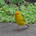 ハワイ島の黄色い鳥