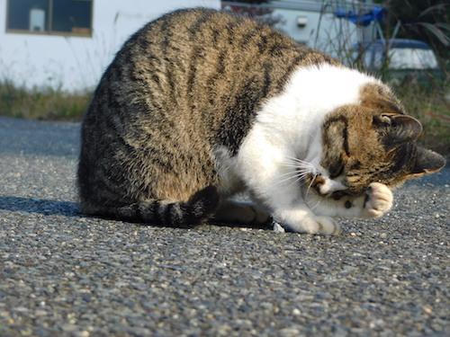 猫 顔洗い
