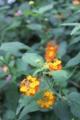 [花]岩見沢バラ園