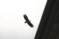 [鳥][三角湖]オジロワシ