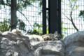 [円山動物園]ホッキョクグマ