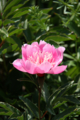 [花][富良野]芍薬