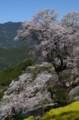 吾北のひょうたん桜