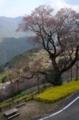 吾川ひょうたん桜