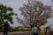 桜センダン