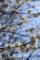 上野の白梅