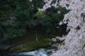 木屋平の桜