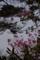 躑躅と石楠花