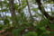 イシダテクサタチバナ