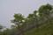 カンバの幼木