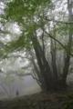 カツラの老木