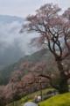 吾川のひょうたん桜