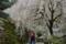市川家の桜