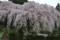 中越家の桜