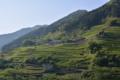 沢渡の茶畑