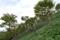 ダケカンバの幼木
