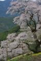 ひょうたん桜