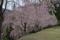三木家の桜