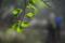 山毛欅の葉