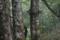 国見山の山毛欅