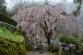 市川家のしだれ桜