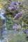 藤の蕾膨らむ