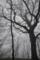 山毛欅の老木