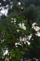 山茶花の原種