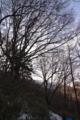 山毛欅の大木