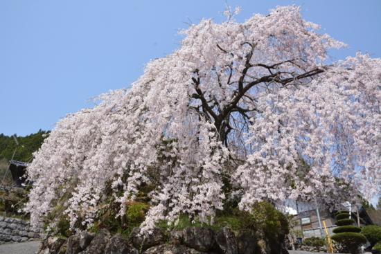 大石家のしだれ桜