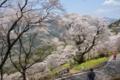 ひょうたん桜 (2)