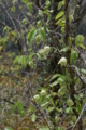 トリガタハンショウヅル