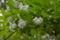 卯の花 (2)