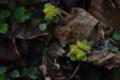 キバナネコノメ