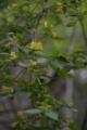 キバナウツギ