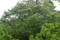林道脇の栃
