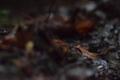 トノサマガエルの幼体