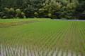津野の田圃