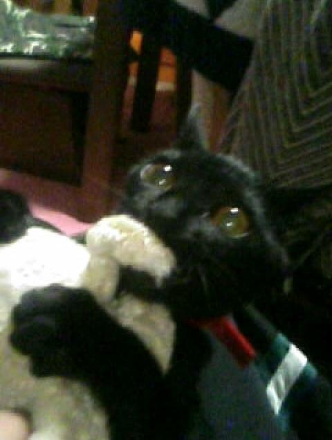 ぬいぐるみに噛みつく子猫の写真