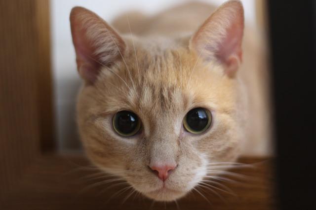 ピンク色の鼻をした猫の写真