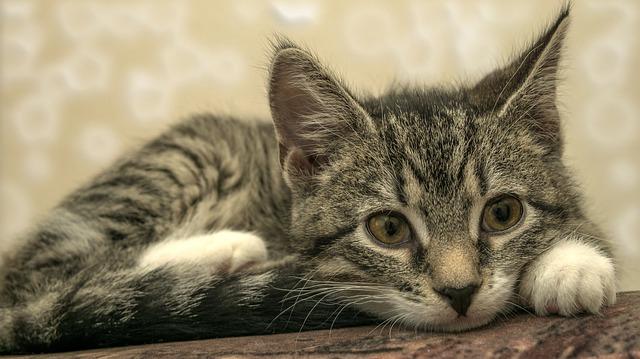 黒色の鼻をした猫の写真