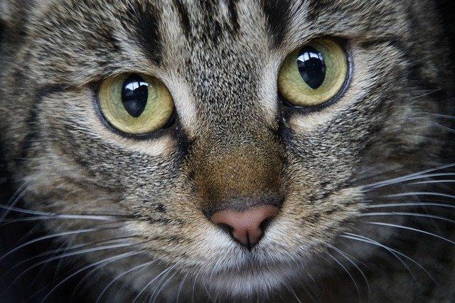 茶色の鼻をした猫の写真
