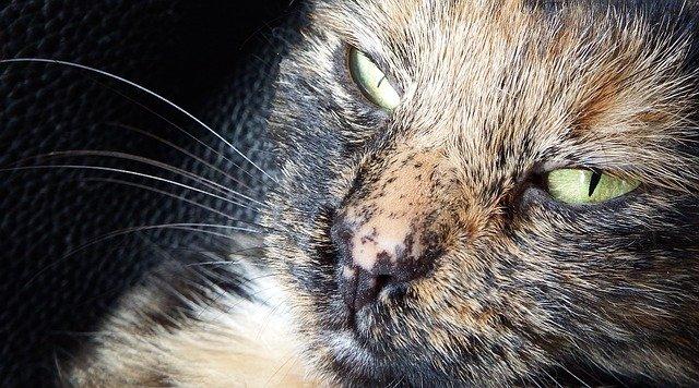 まだら模様の鼻をした猫の写真
